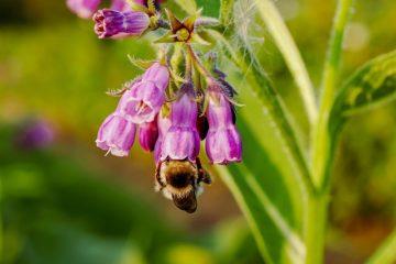 consoude abeille
